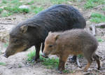 Mother Wild boar and Cub