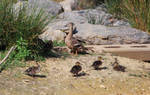 Mother Duck and Cubs