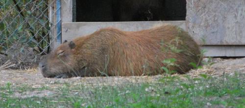 Rest of the Capybara