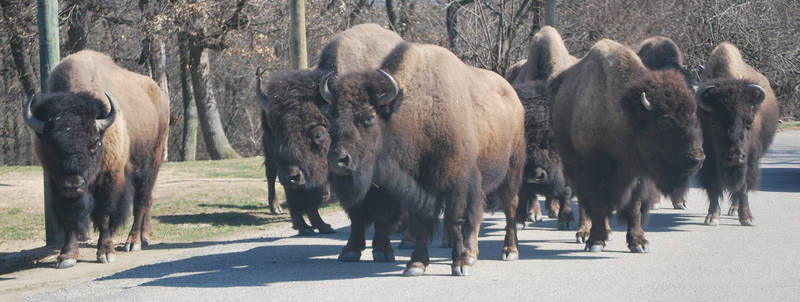 American Bison Pack