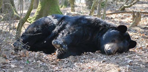 Resting American Black Bear