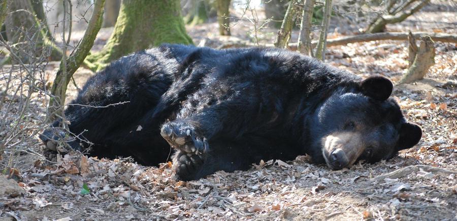 Resting American Black Bear by NicamShilova