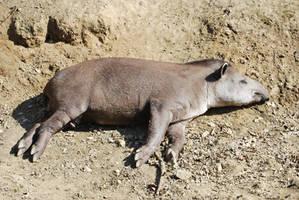 Resting Tapir