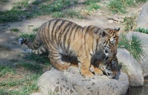 Twin Siberians Tigers Cubs