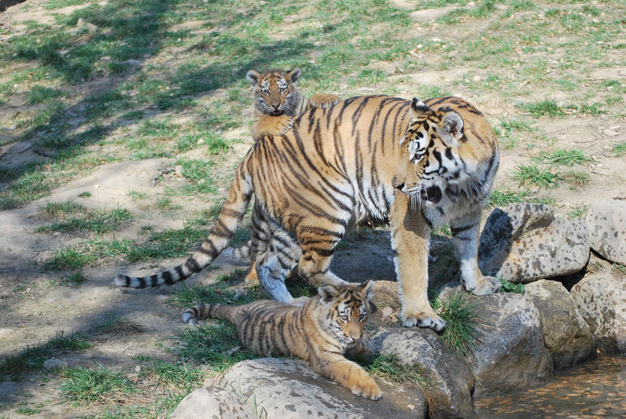 Mother Siberian Tiger and Cubs