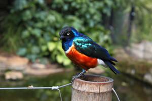 Superb Starling by emmalemmadingdong