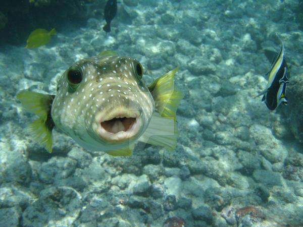 puffer_fish_by_live_life_rite_d1f2pvg-fullview.jpg