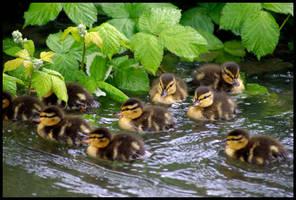 little quackers ...
