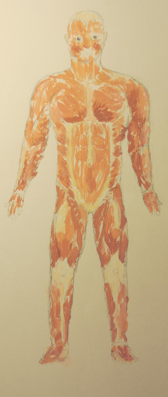 human muscle anatomy study by streamwhisker on deviantart, Muscles