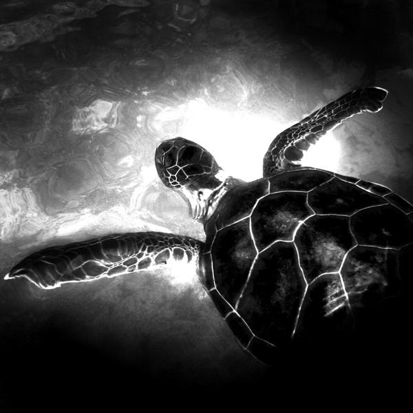 Aitutaki Turtle III by DMcRae