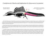Caudofemoralis Muscles and Spinosaurus Locomotion