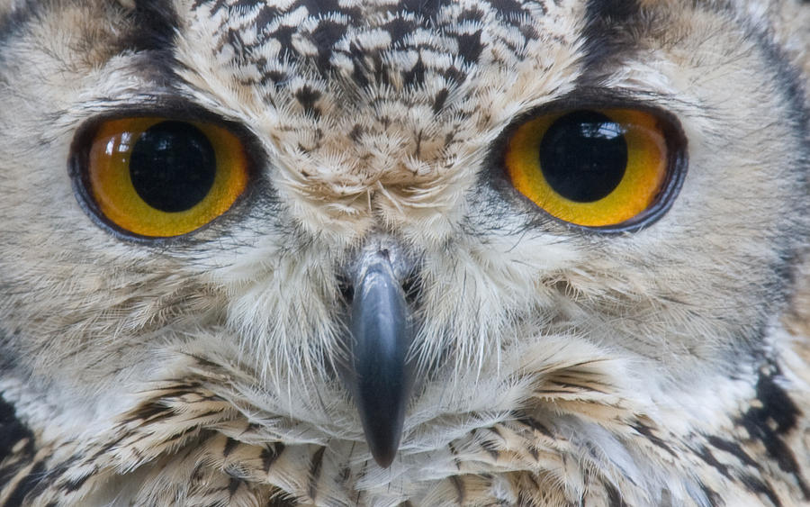 Owl Close Up by The-Aperture