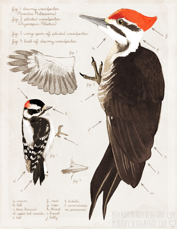 textbook woodpeckers by mybirdy