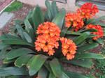Orange Flowers 1 STock