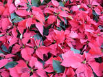 Poinsettia Flowers Stock