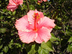 Hibiscus Flower: Front Stock