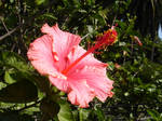 Hibiscus Flower: Right Stock
