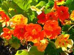 Nasturtium - Flowers STock