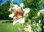 Day Lily Stock