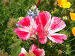 Magenta Flowers 1 Stock
