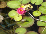 Frog and Lily Pads 2 Stock