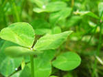 Stock: 3-Leaf Clover