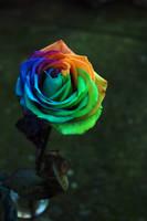 The Rainbow Rose by mooshfoo