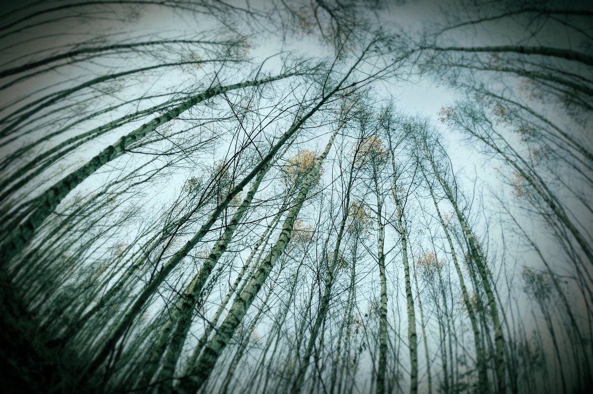 birch wood by ForrestBump