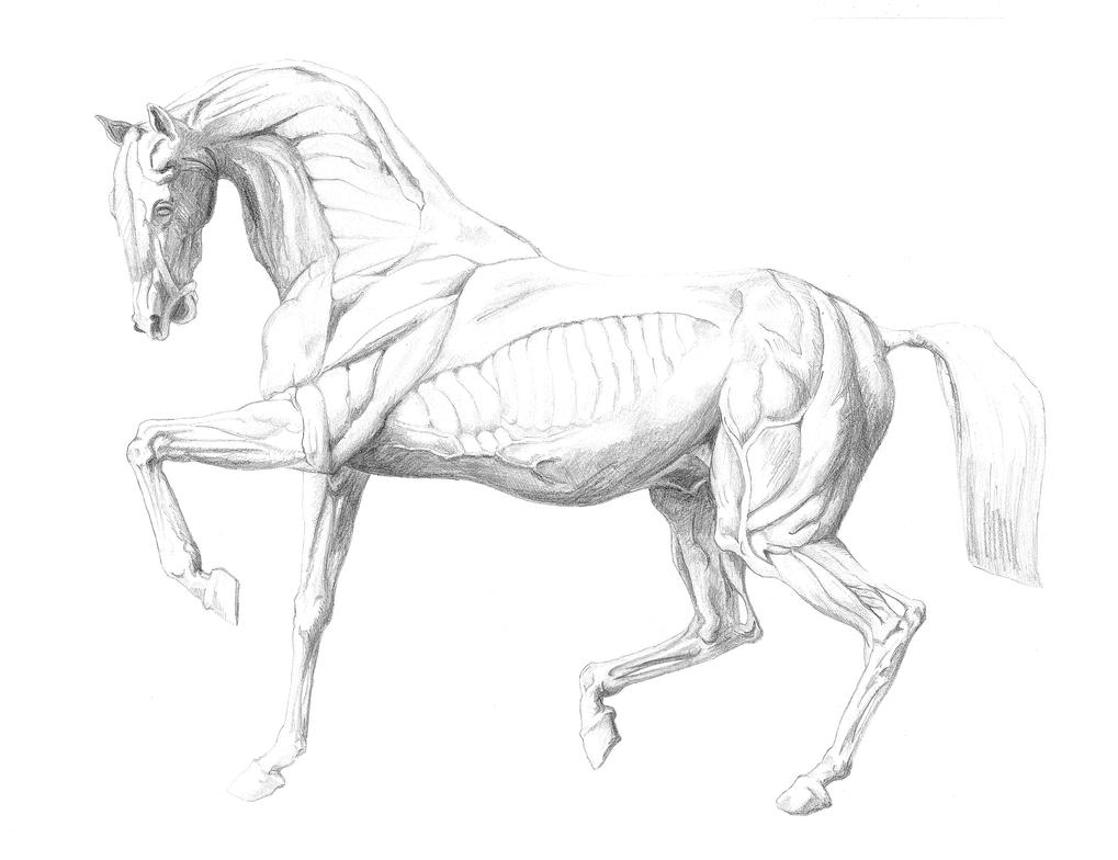 drawing Horse anatomy by Laloucheasoda on DeviantArt