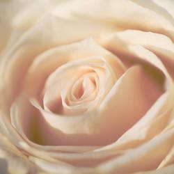 Vintage Rose. by kle0012