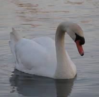 Swan by ItsAllStock