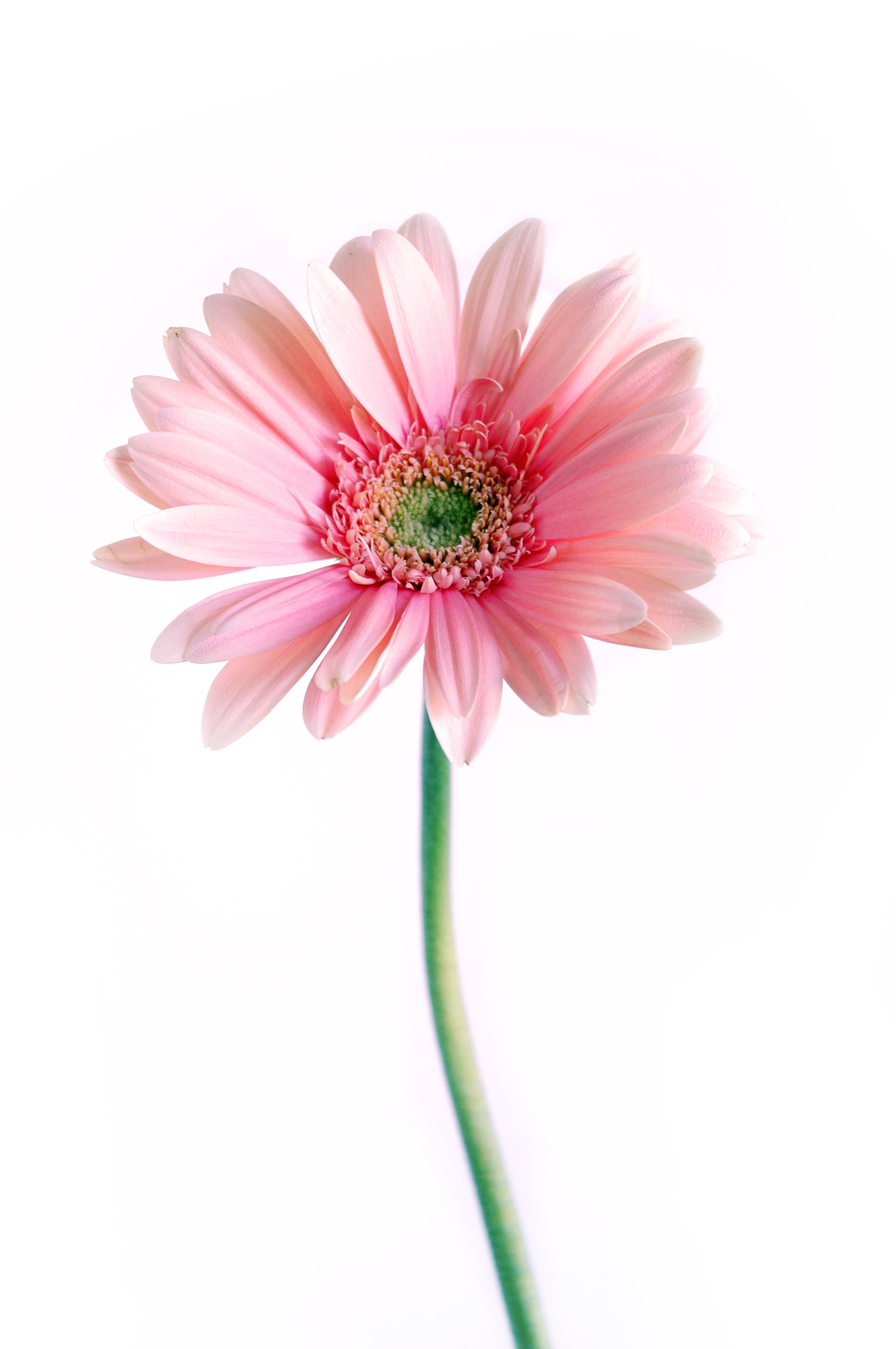 Gerbera :stock: by Proseuche
