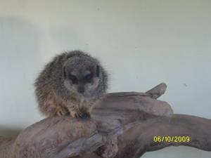 Meerkat stock 1