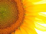 sun__flower
