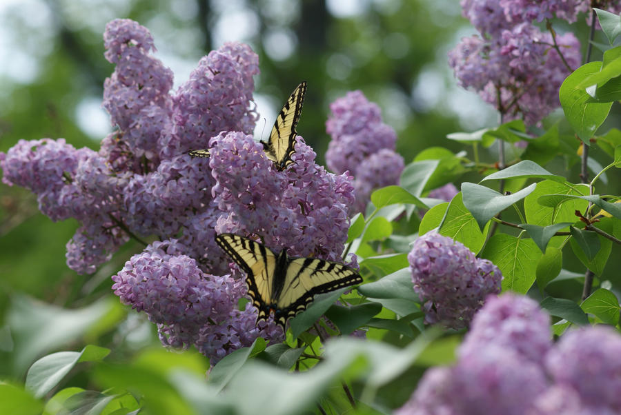 Butterflies and lilacs 2 by totallymessed on deviantart for Lilac butterfly wallpaper