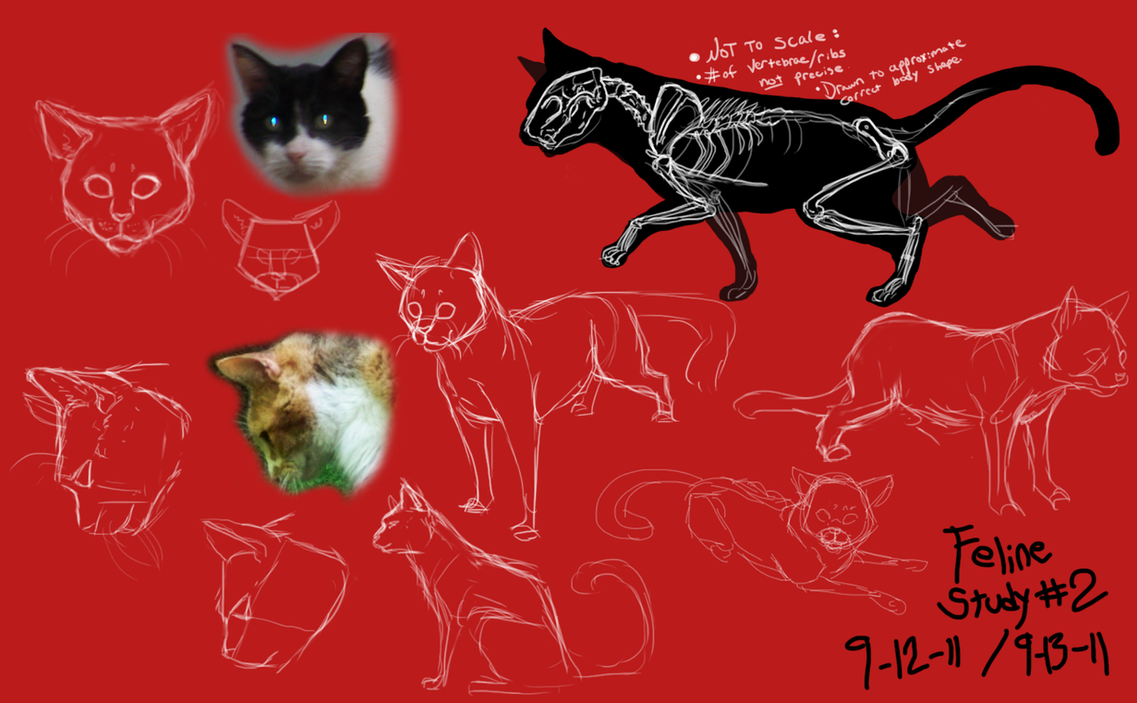 house cat anatomy study . by ShadowCatsKey on DeviantArt