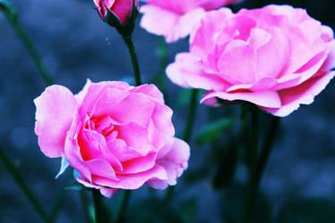 grow me a garden of roses I