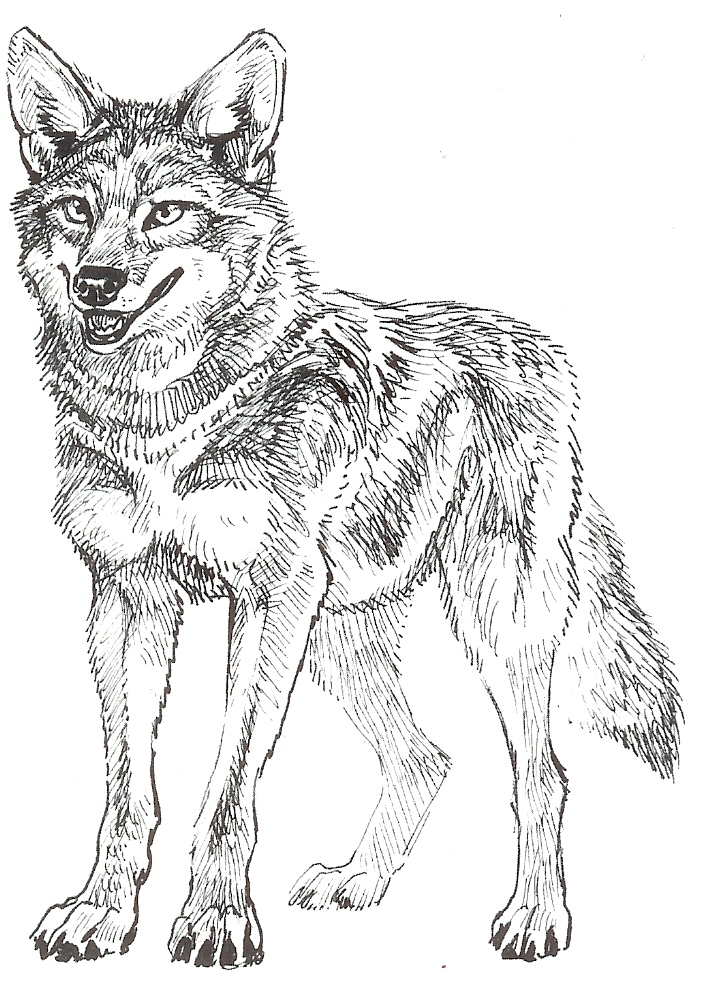 Coyote head drawing - photo#3