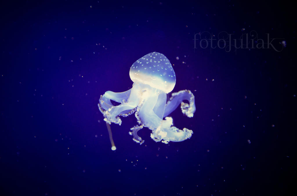1.Jellyfish by fotoJULIAK