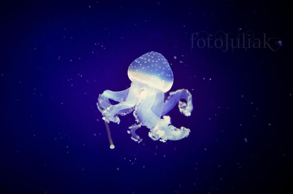 1.Jellyfish by fotoJULIAK