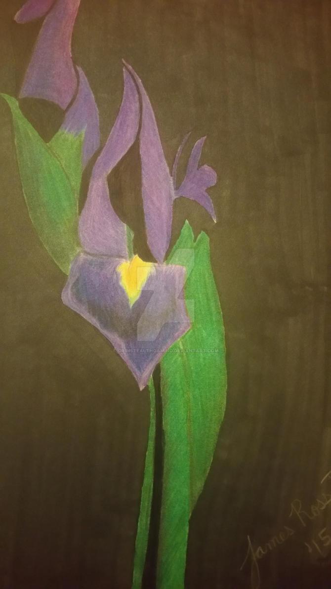 Blooming Purple Tulip