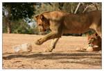 Playfull lion - 2