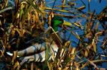 Liffey Duck by amerindub