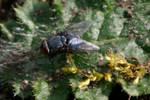 Mr. Fly by amerindub