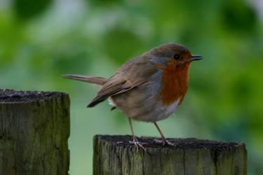 Robin 2 by amerindub
