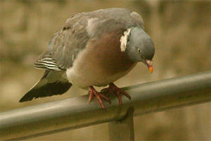 Pigeon on Rail 1 by amerindub