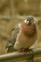 Pigeon on Rail 2 by amerindub