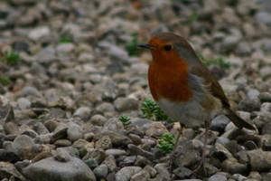 Robin by amerindub