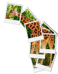 Polaroid Giraffe
