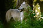 Wolf by amerindub